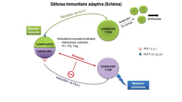 Schéma de la défense immunitaire adaptive montrant les interactions entre HLA I et HAL II et les modifications intervenant durant la grossesse